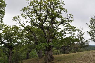 Aspromonte - Rovere Meridionale (Quercus Petraea)