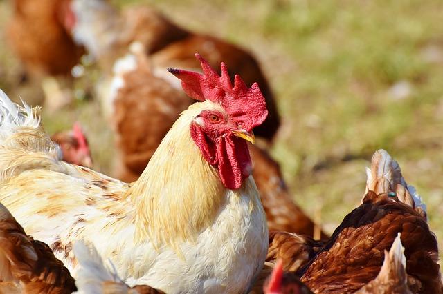 Cina, aviaria in un allevamento di polli: il focolaio nell'Hunan